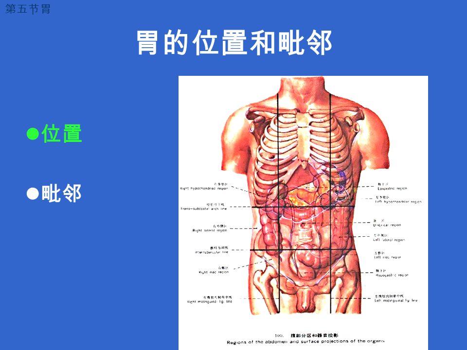 胃的位置和毗邻 位置 毗邻 第五节胃