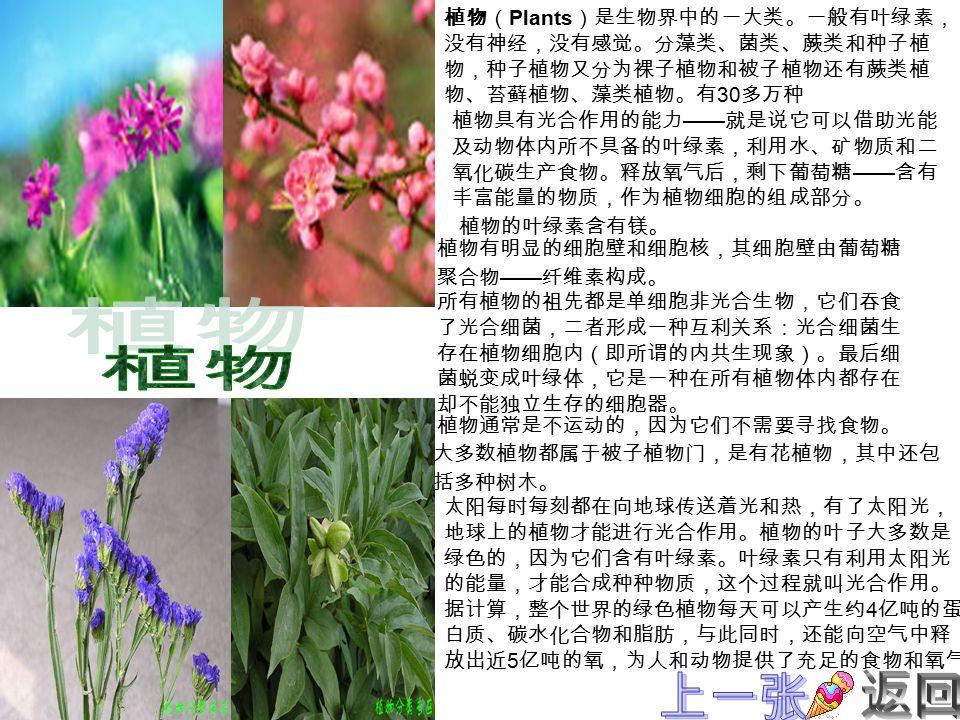植物( Plants )是生物界中的一大类。一般有叶绿素, 没有神经,没有感觉。分藻类、菌类、蕨类和种子植 物,种子植物又分为裸子植物和被子植物还有蕨类植 物、苔藓植物、藻类植物。有 30 多万种 植物具有光合作用的能力 —— 就是说它可以借助光能 及动物体内所不具备的叶绿素,利用水、矿物质和二 氧化碳生产食物。释放氧气后,剩下葡萄糖 —— 含有 丰富能量的物质,作为植物细胞的组成部分。 植物有明显的细胞壁和细胞核,其细胞壁由葡萄糖 聚合物 —— 纤维素构成。 所有植物的祖先都是单细胞非光合生物,它们吞食 了光合细菌,二者形成一种互利关系:光合细菌生 存在植物细胞内(即所谓的内共生现象)。最后细 菌蜕变成叶绿体,它是一种在所有植物体内都存在 却不能独立生存的细胞器。 植物通常是不运动的,因为它们不需要寻找食物。 大多数植物都属于被子植物门,是有花植物,其中还包 括多种树木。 太阳每时每刻都在向地球传送着光和热,有了太阳光, 地球上的植物才能进行光合作用。植物的叶子大多数是 绿色的,因为它们含有叶绿素。叶绿素只有利用太阳光 的能量,才能合成种种物质,这个过程就叫光合作用。 据计算,整个世界的绿色植物每天可以产生约 4 亿吨的蛋 白质、碳水化合物和脂肪,与此同时,还能向空气中释 放出近 5 亿吨的氧,为人和动物提供了充足的食物和氧气。 植物的叶绿素含有镁。