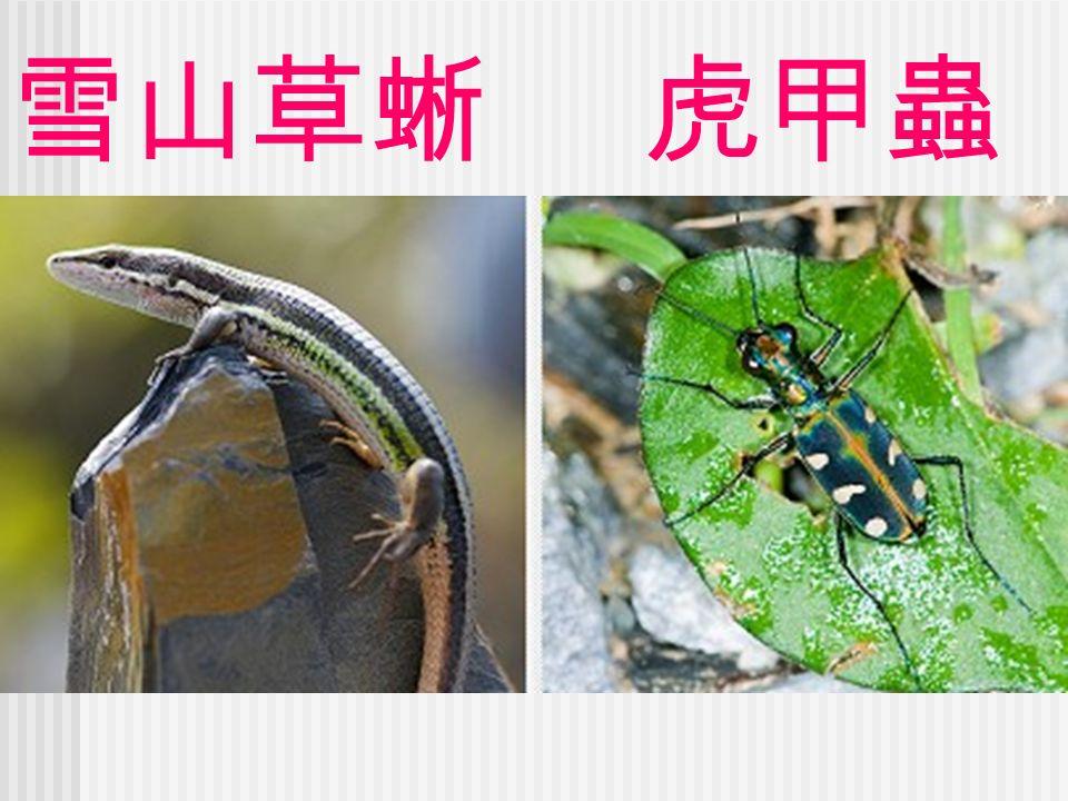 雪山草蜥 虎甲蟲