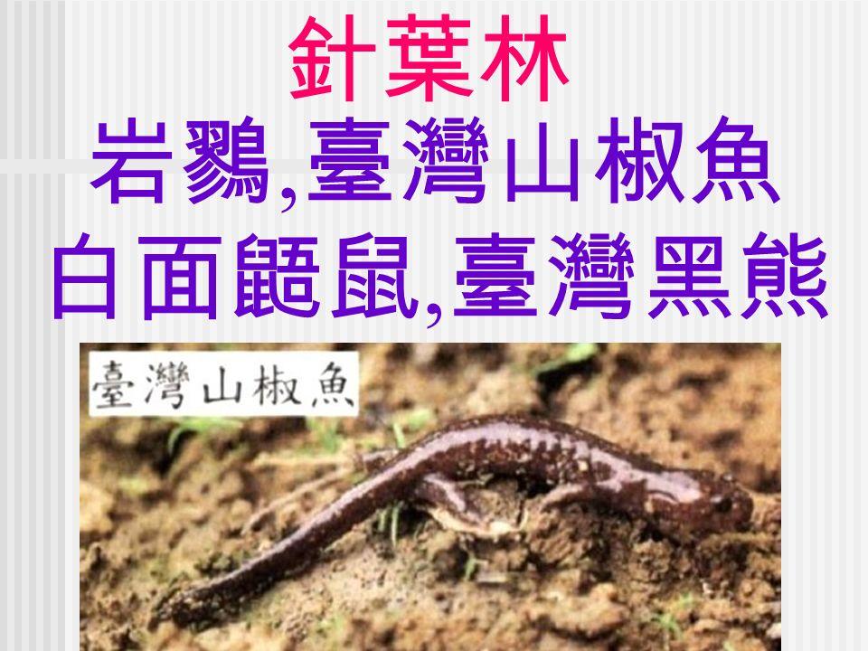 針葉林 岩鷚, 臺灣山椒魚 白面鼯鼠, 臺灣黑熊
