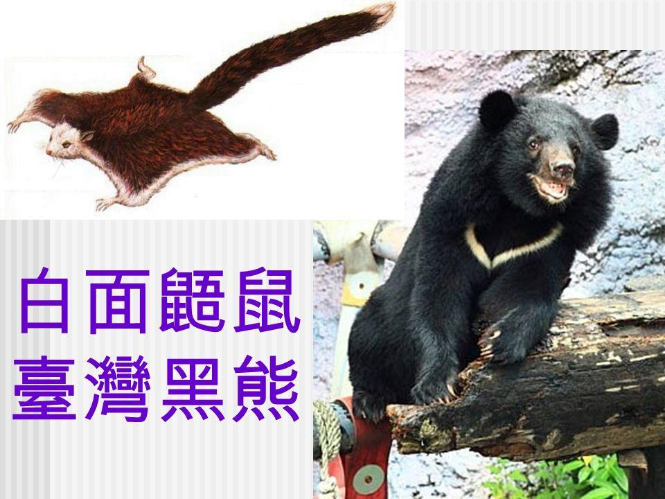 白面鼯鼠 臺灣黑熊