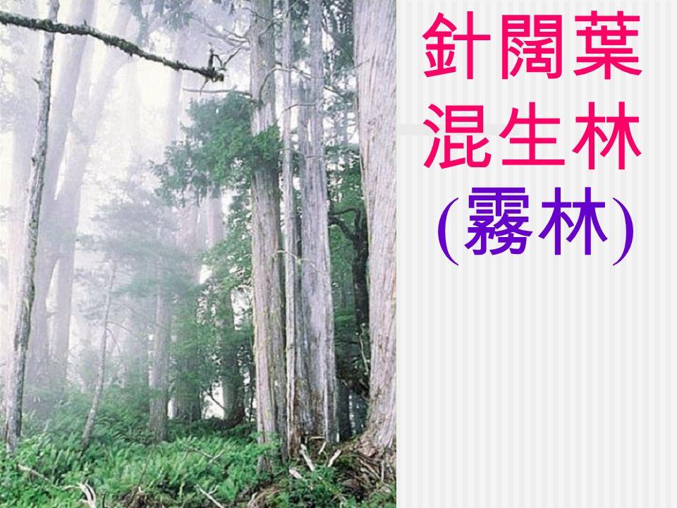 針闊葉 混生林 ( 霧林 )