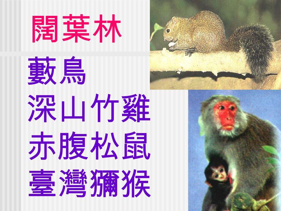 闊葉林 藪鳥 深山竹雞 赤腹松鼠 臺灣獼猴