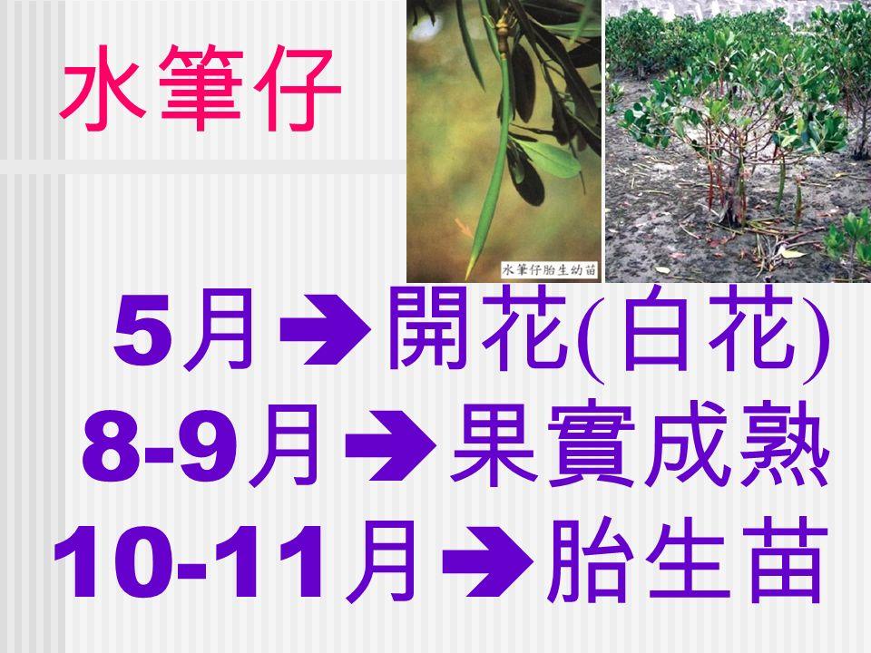 水筆仔 5 月  開花 ( 白花 ) 8-9 月  果實成熟 10-11 月  胎生苗