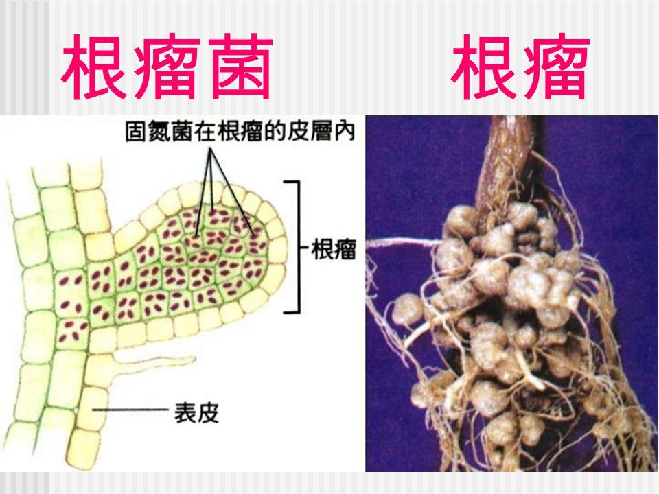 根瘤菌 根瘤