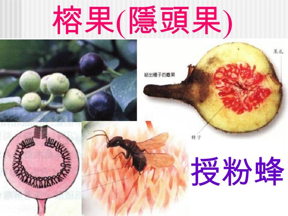 榕果 ( 隱頭果 ) 授粉蜂