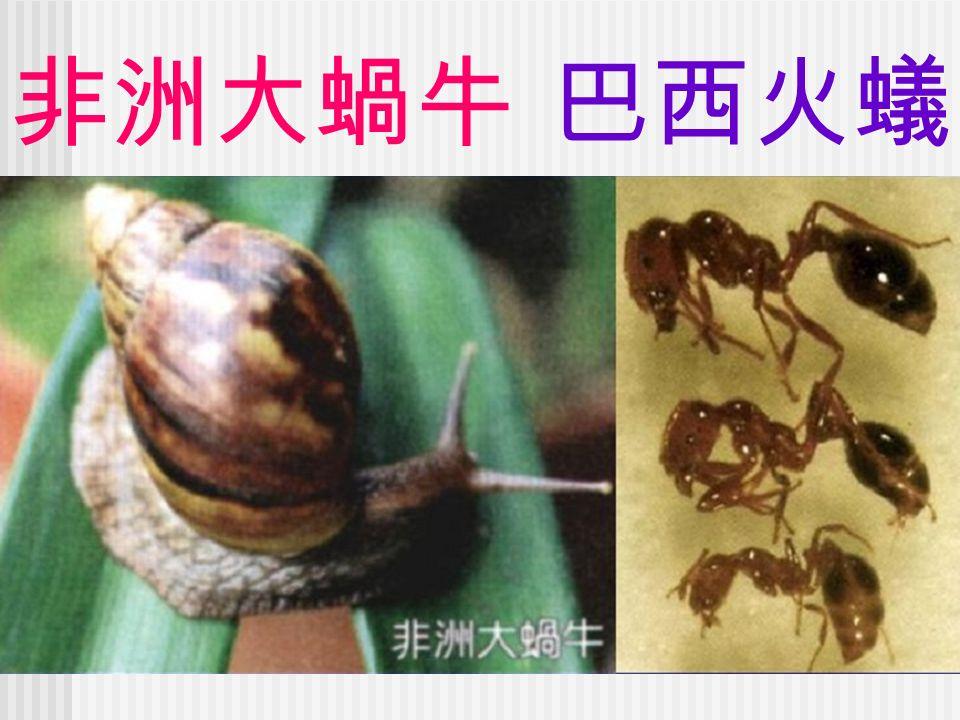 非洲大蝸牛 巴西火蟻