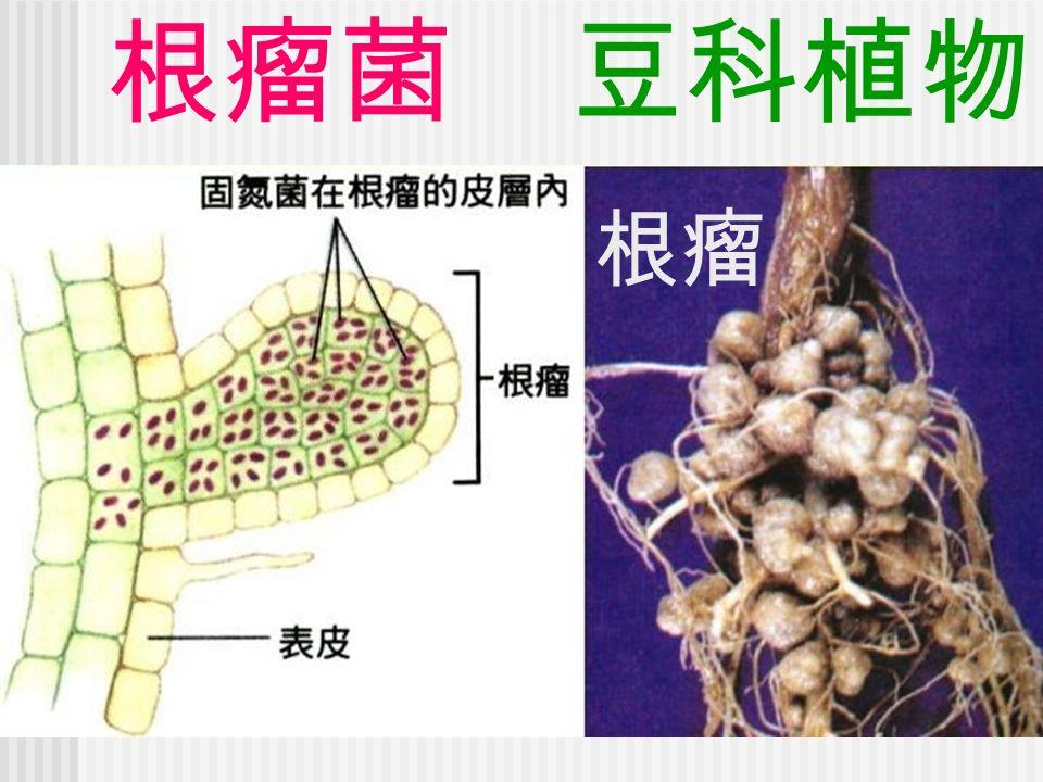 根瘤菌 豆科植物 根瘤
