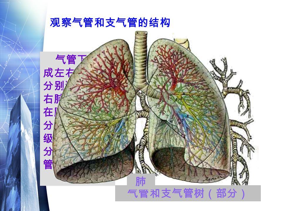 气管和支气管树(部分) 气管下端分 成左右支气管, 分别通向左、 右肺。支气管 在肺叶中一再 分支,成为各 级支气管,越 分越细,越分 管壁越薄。 观察气管和支气管的结构 肺