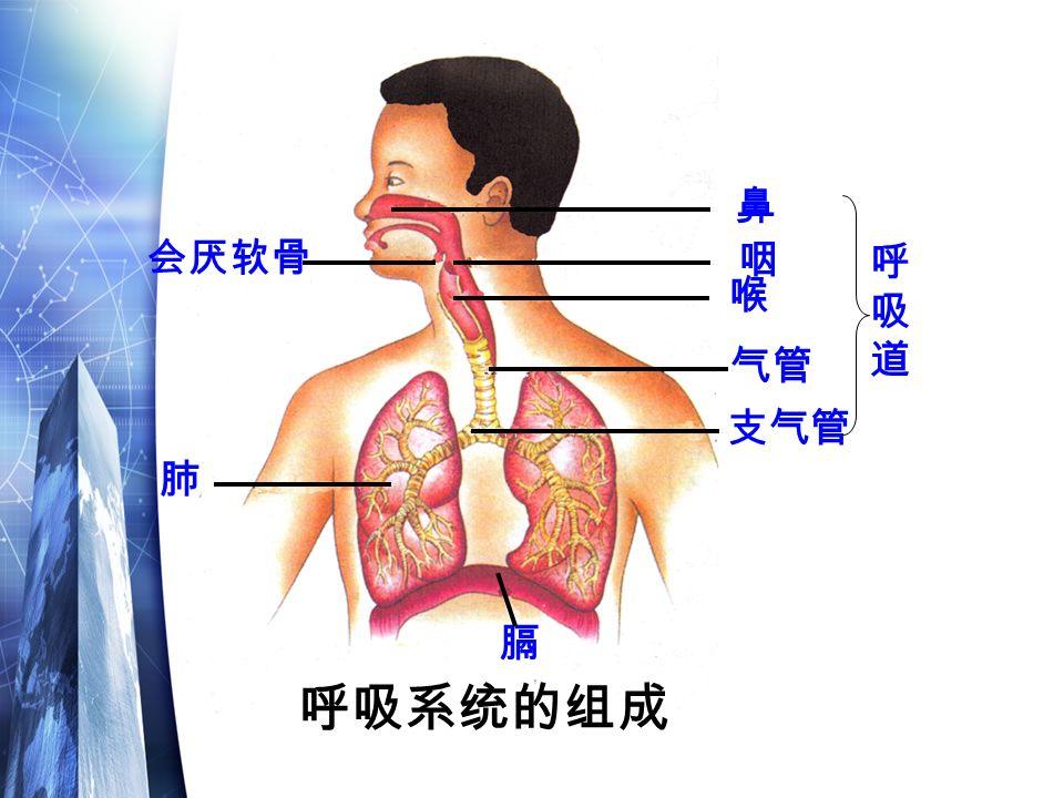 鼻 咽 喉 气管 支气管 呼吸系统的组成 呼吸道呼吸道 会厌软骨 肺