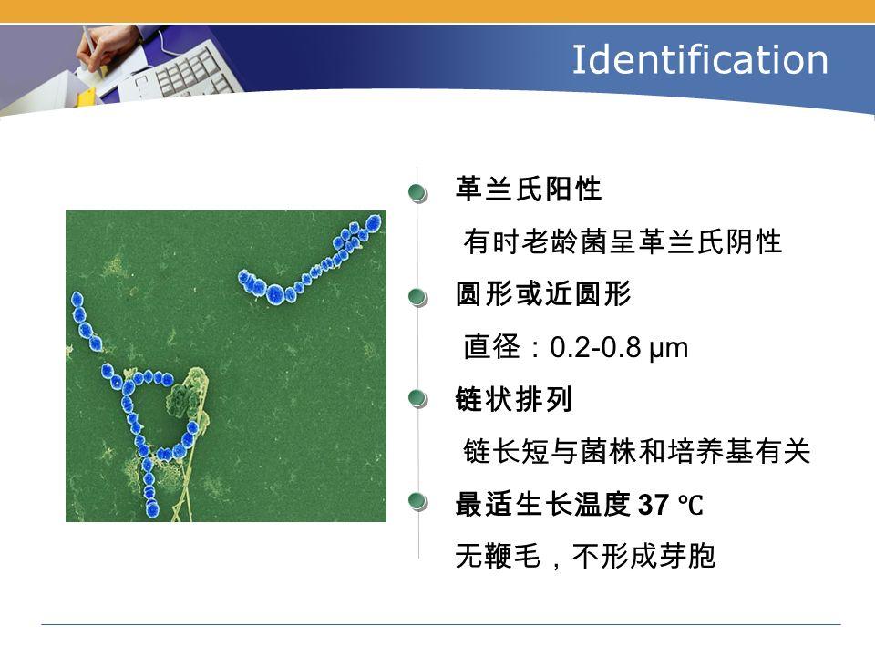 Identification 革兰氏阳性 有时老龄菌呈革兰氏阴性 圆形或近圆形 直径: 0.2-0.8 μm 链状排列 链长短与菌株和培养基有关 最适生长温度 37 ℃ 无鞭毛,不形成芽胞