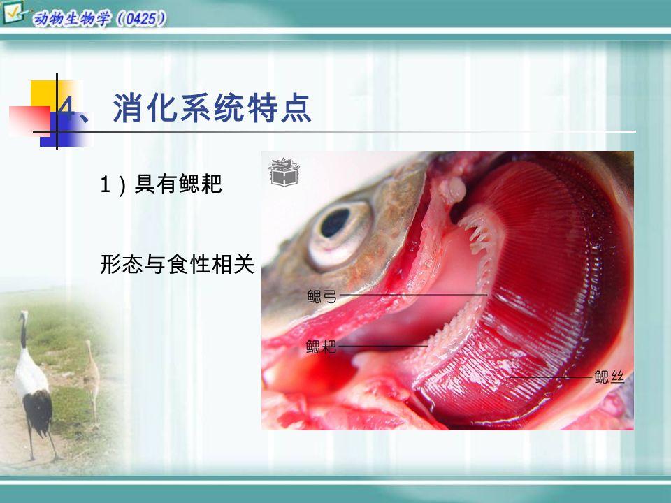 4 、消化系统特点 1 )具有鳃耙 形态与食性相关
