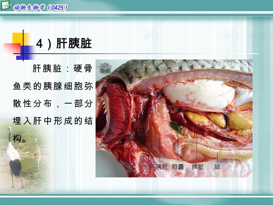 4 )肝胰脏 肝胰脏:硬骨 鱼类的胰腺细胞弥 散性分布,一部分 埋入肝中形成的结 构。