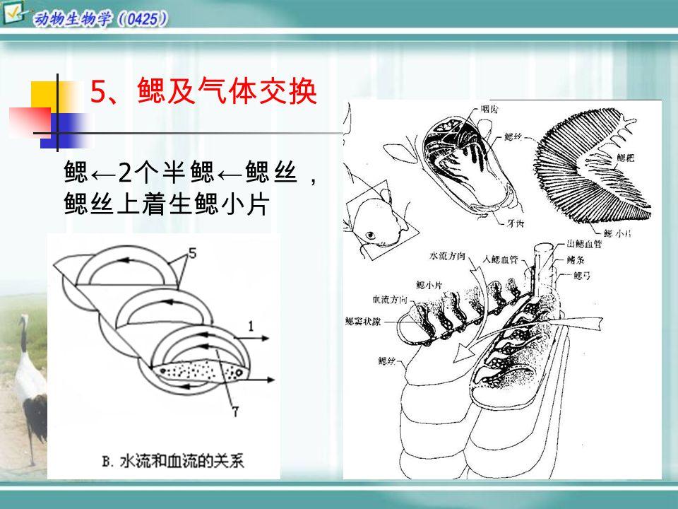 5 、鳃及气体交换 鳃 ← 2 个半鳃 ← 鳃丝, 鳃丝上着生鳃小片