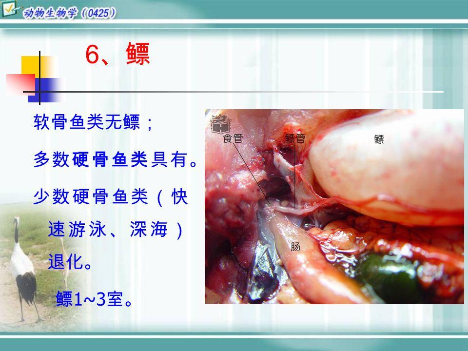 6 、鳔 软骨鱼类无鳔; 多数硬骨鱼类具有。 少数硬骨鱼类(快 速游泳、深海) 退化。 鳔 1~3 室。