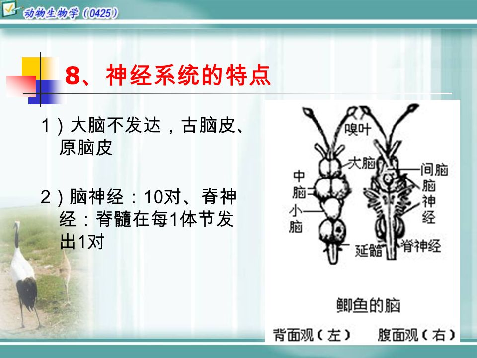 8 、神经系统的特点 1 )大脑不发达,古脑皮、 原脑皮 2 )脑神经: 10 对、脊神 经:脊髓在每 1 体节发 出 1 对