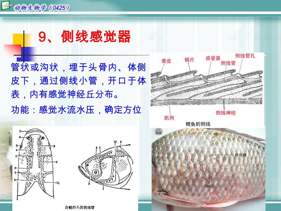 9 、侧线感觉器 管状或沟状,埋于头骨内、体侧 皮下,通过侧线小管,开口于体 表,内有感觉神经丘分布。 功能:感觉水流水压,确定方位