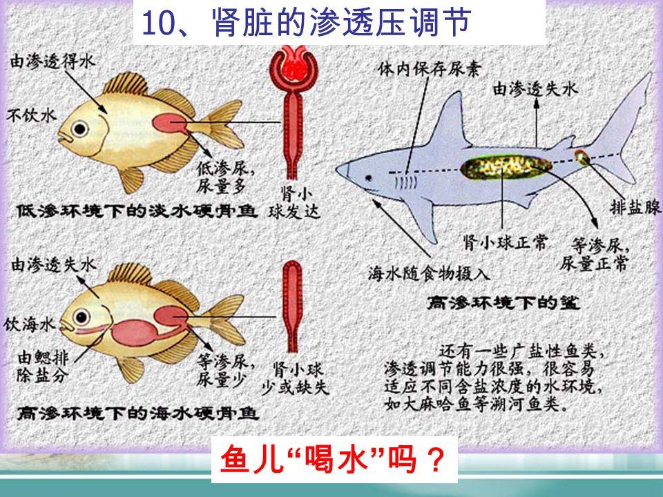 10 、肾脏的渗透压调节 鱼儿 喝水 吗?