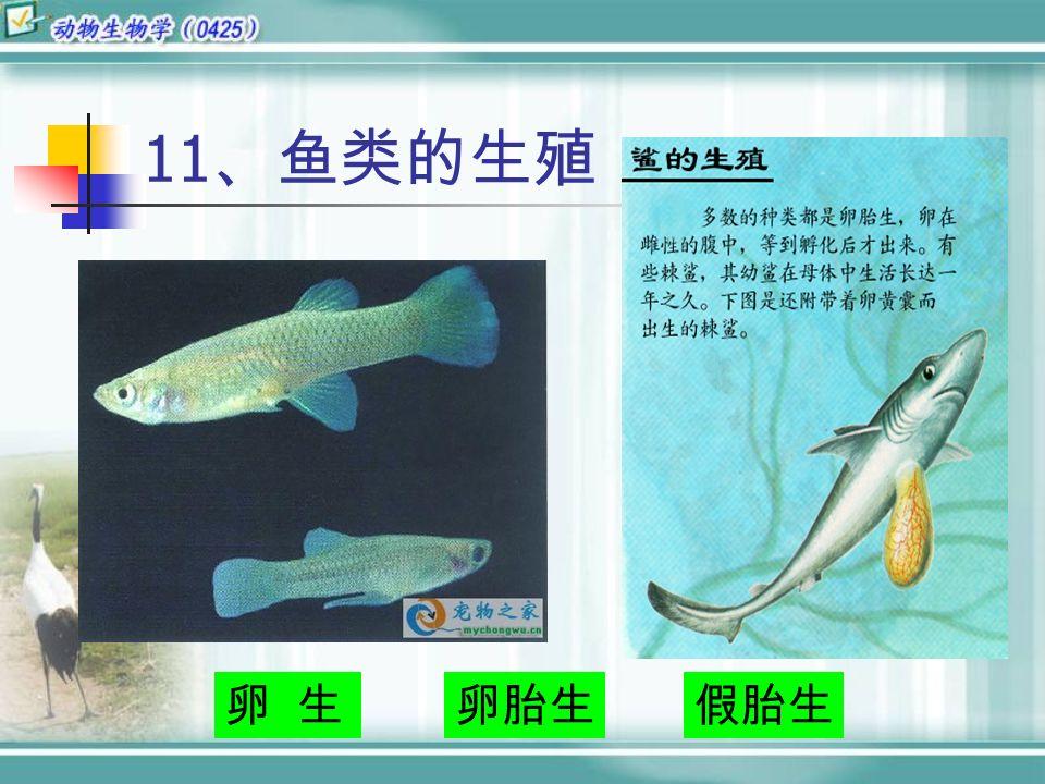 11 、鱼类的生殖 卵 生假胎生卵胎生