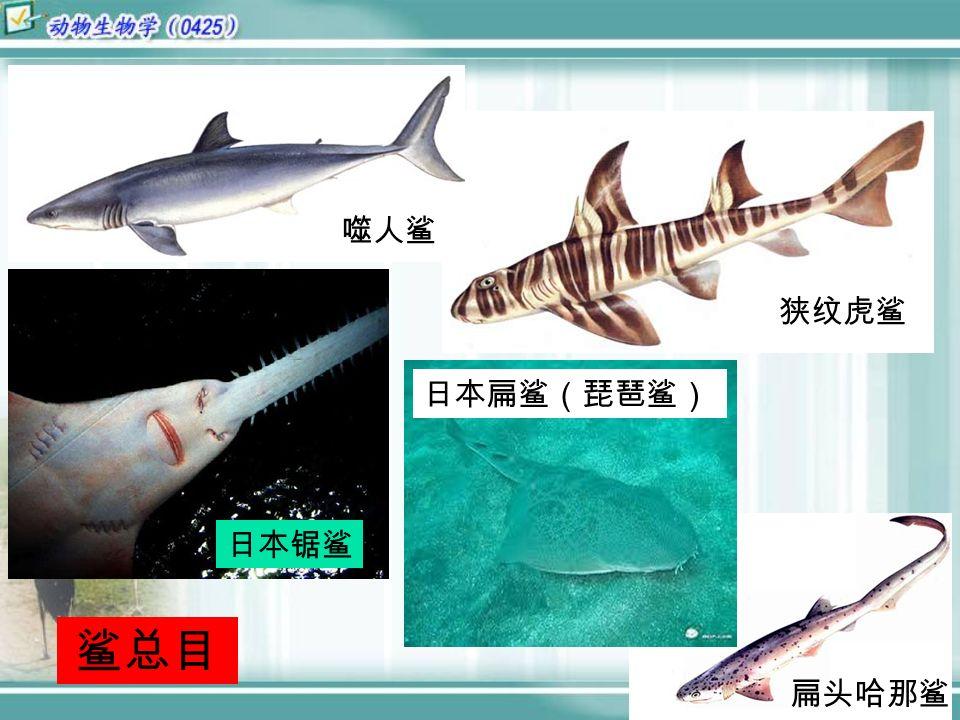 扁头哈那鲨 狭纹虎鲨 噬人鲨 日本锯鲨 日本扁鲨(琵琶鲨) 鲨总目