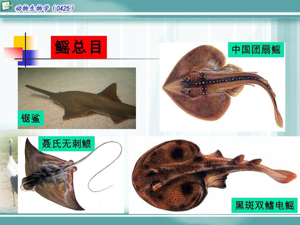 鳐总目 中国团扇鳐 锯鲨 聂氏无刺鲼 黑斑双鳍电鳐