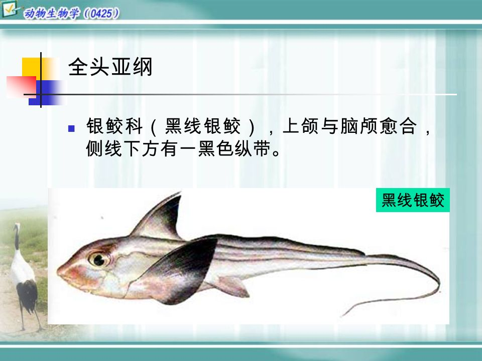 全头亚纲 银鲛科(黑线银鲛),上颌与脑颅愈合, 侧线下方有一黑色纵带。 黑线银鲛