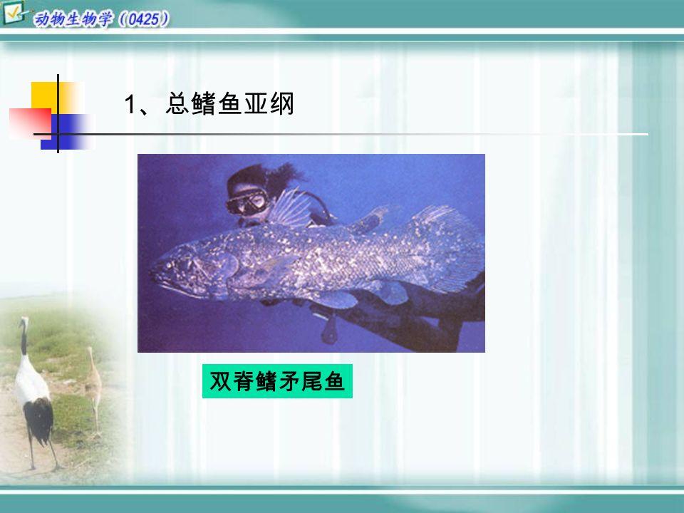1 、总鳍鱼亚纲 双脊鳍矛尾鱼