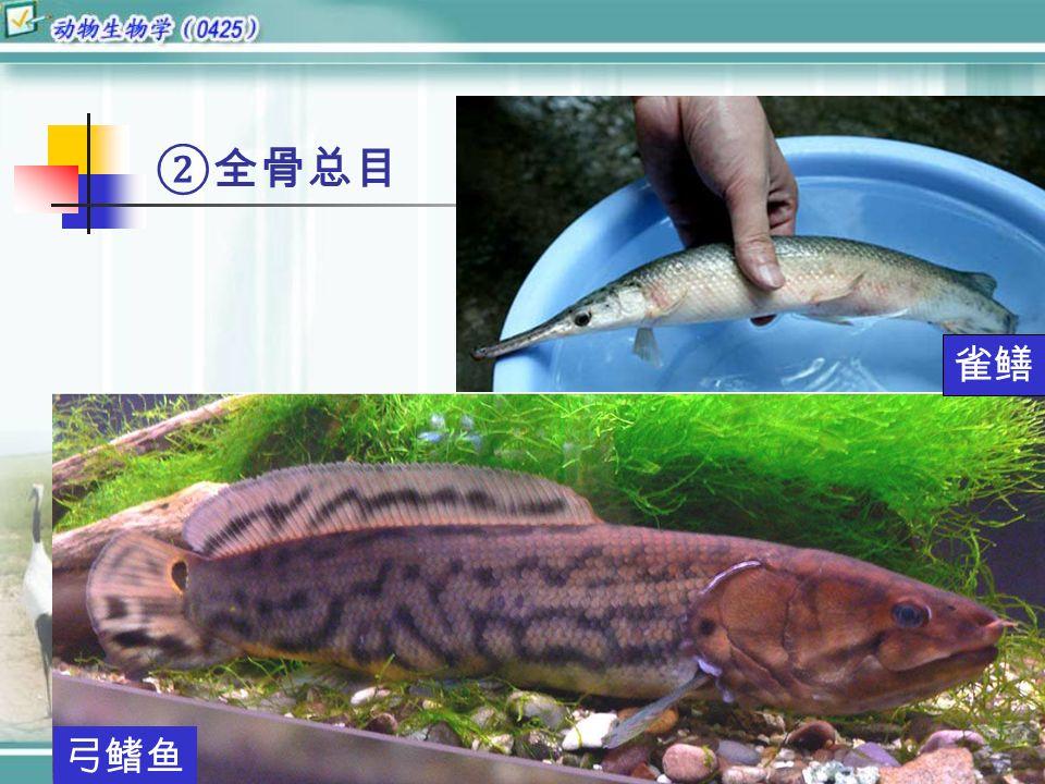 ②全骨总目 雀鳝 弓鳍鱼