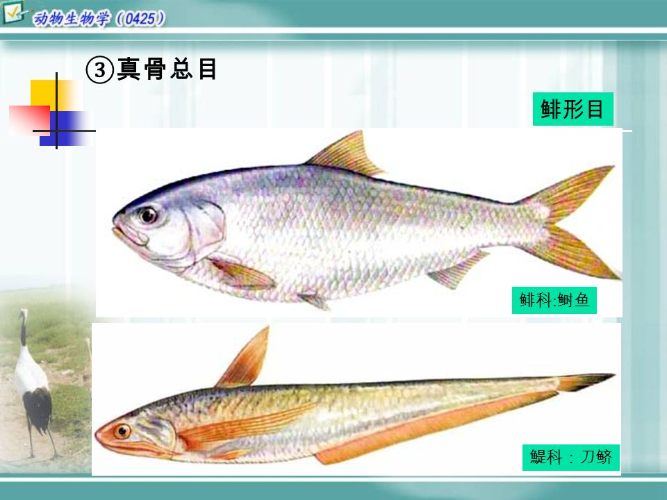 ③真骨总目 鲱科 : 鲥鱼 鯷科:刀鲚 鲱形目