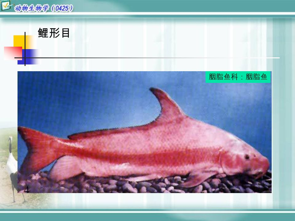 鲤形目 胭脂鱼科:胭脂鱼
