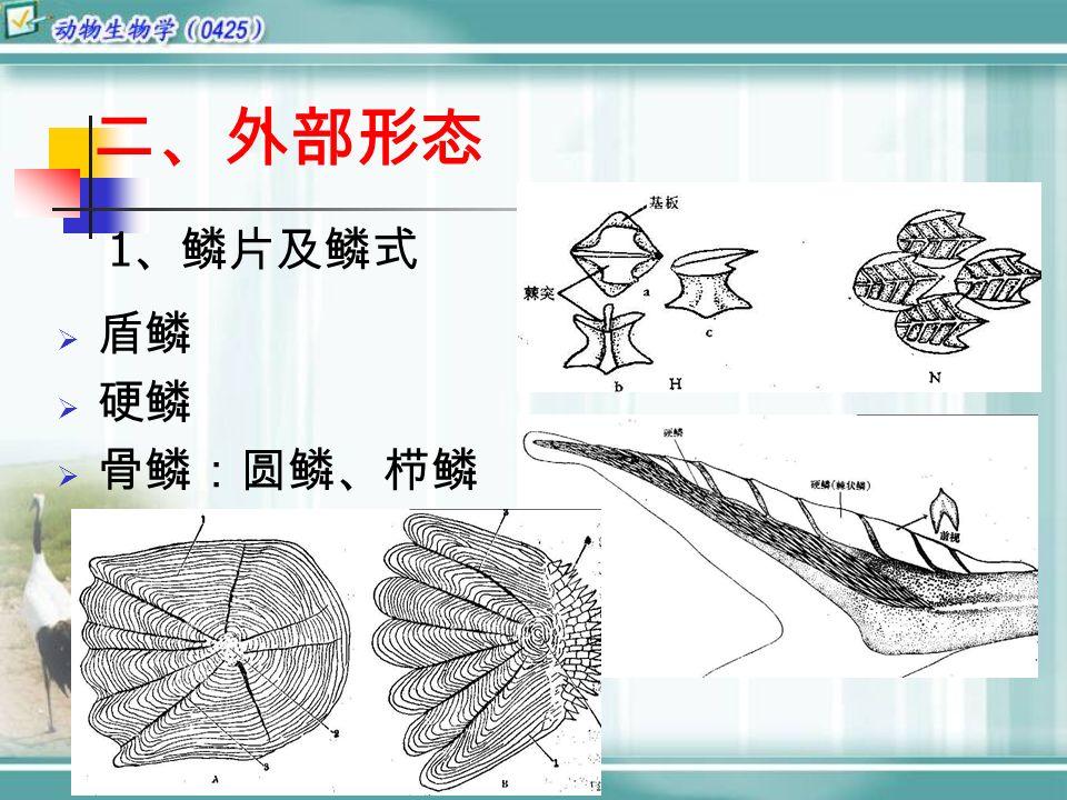 二、外部形态  盾鳞  硬鳞  骨鳞:圆鳞、栉鳞 1 、鳞片及鳞式