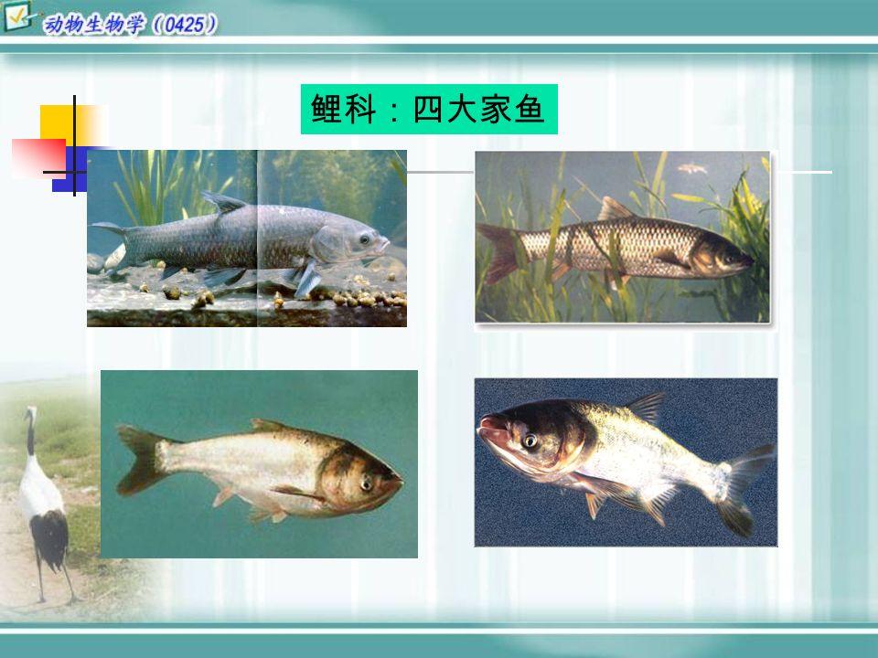 鲤科:四大家鱼