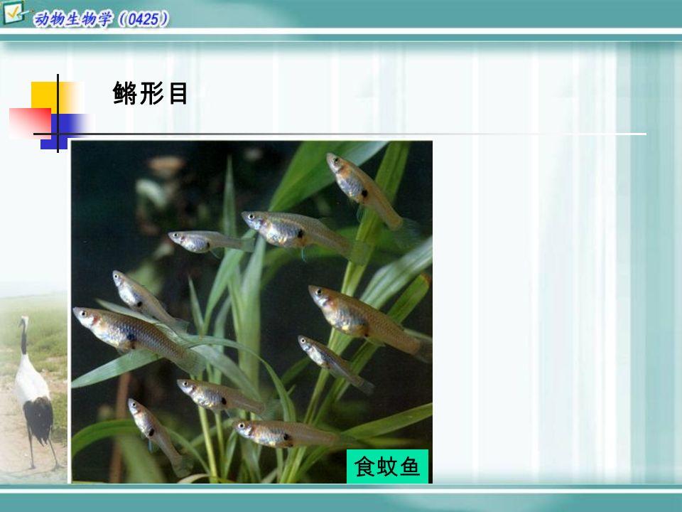 鳉形目 食蚊鱼
