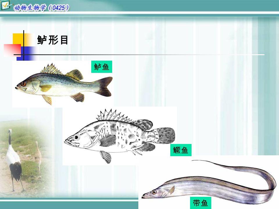 鲈形目 鲈鱼 鳜鱼 带鱼