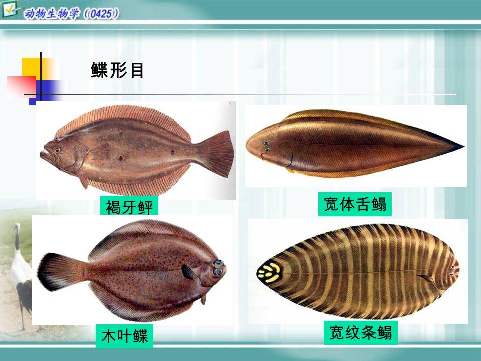 褐牙鲆 木叶鲽 宽体舌鳎 宽纹条鳎 鲽形目