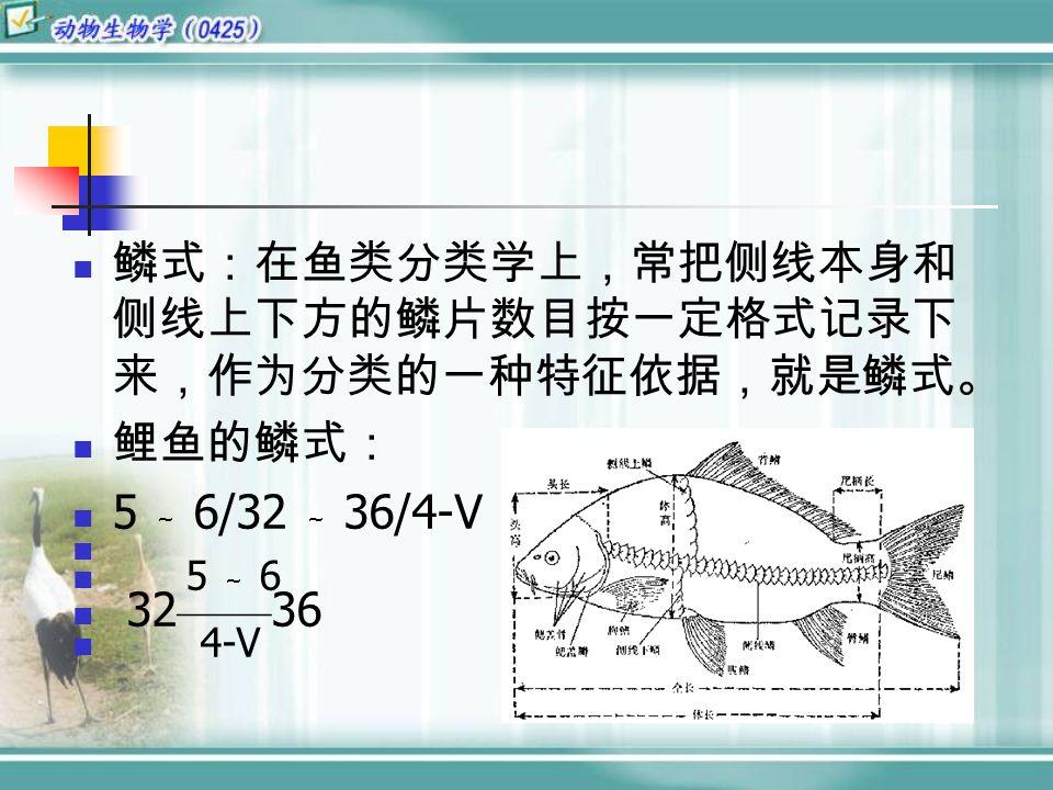 鳞式:在鱼类分类学上,常把侧线本身和 侧线上下方的鳞片数目按一定格式记录下 来,作为分类的一种特征依据,就是鳞式。 鲤鱼的鳞式: 5 ~ 6/32 ~ 36/4-V 5 ~ 6 32 —— 36 4-V