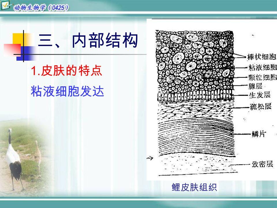 三、内部结构 1. 皮肤的特点 粘液细胞发达 鲤皮肤组织