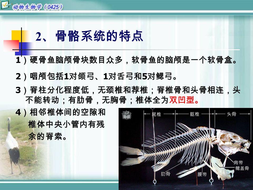 2 、骨骼系统的特点 1 )硬骨鱼脑颅骨块数目众多,软骨鱼的脑颅是一个软骨盒。 2 )咽颅包括 1 对颌弓、 1 对舌弓和 5 对鳃弓。 3 )脊柱分化程度低,无颈椎和荐椎;脊椎骨和头骨相连,头 不能转动;有肋骨,无胸骨;椎体全为双凹型。 4 )相邻椎体间的空隙和 椎体中央小管内有残 余的脊索。