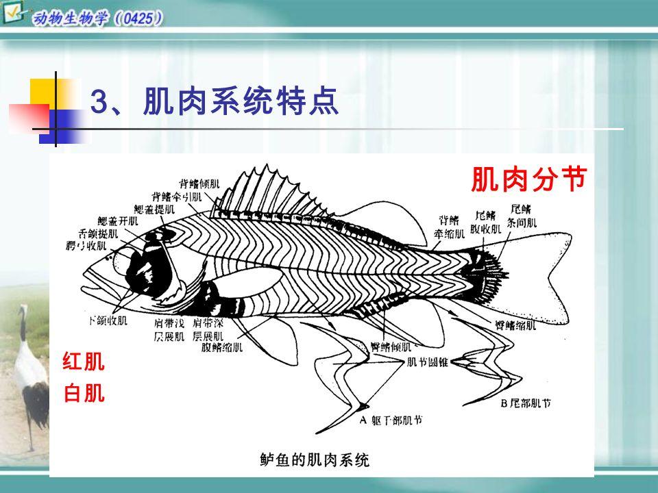 3 、肌肉系统特点 红肌 白肌 肌肉分节