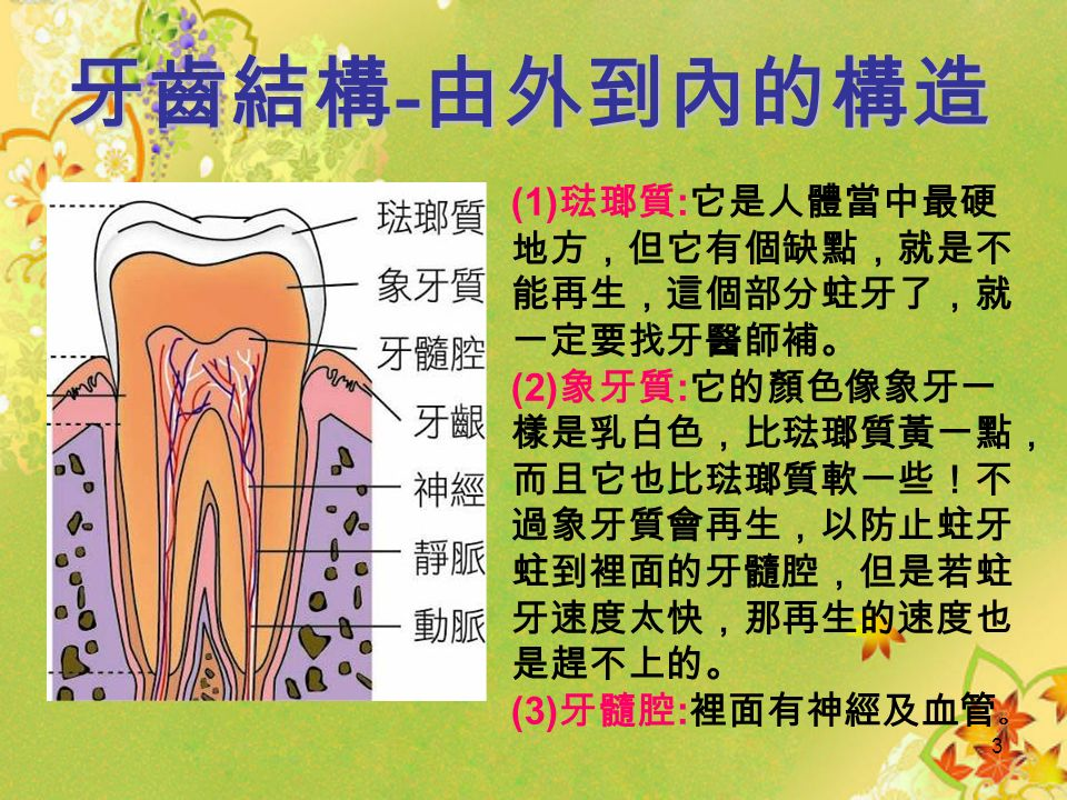 2 牙齒結構 - 從外觀可分為 (1) 牙冠:位於牙齒 最上層部分,就像 皇冠一樣。 (2) 牙根:牙齒下方 的根部。 (3) 牙頸:連接牙冠 跟牙根的部分,類 似人的頸部連接頭 跟軀幹的部分一樣。