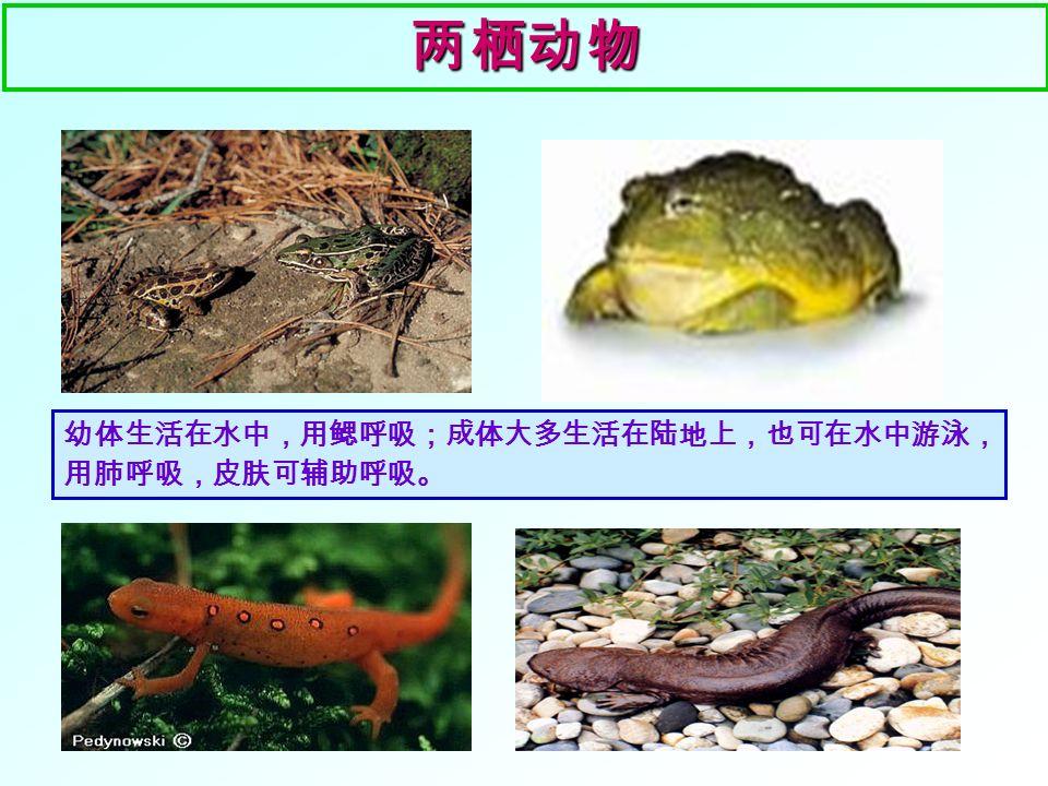 两栖动物 1 、青蛙的幼体是 ,生活在 , 用 呼吸。 2 、青蛙用 _____ 呼吸,但该结构简单, 不发达;青蛙的皮肤裸露且能分泌 _______ ,湿润的皮肤里密布 _________ , 也可进行气体交换,以辅助呼吸。 3 、青蛙的 _ __ 短小,可 _ ____ , _______ 发达,趾间有 ____ ,既能 __________ ,也能 __________ 。 4 、青蛙的生殖: _____ 中产卵, _____ 中 受精。 蝌蚪 水中鳃 肺 黏液 毛细血管 蹼 跳跃 后肢 前肢 划水 支撑身体 水 水 自主回顾二