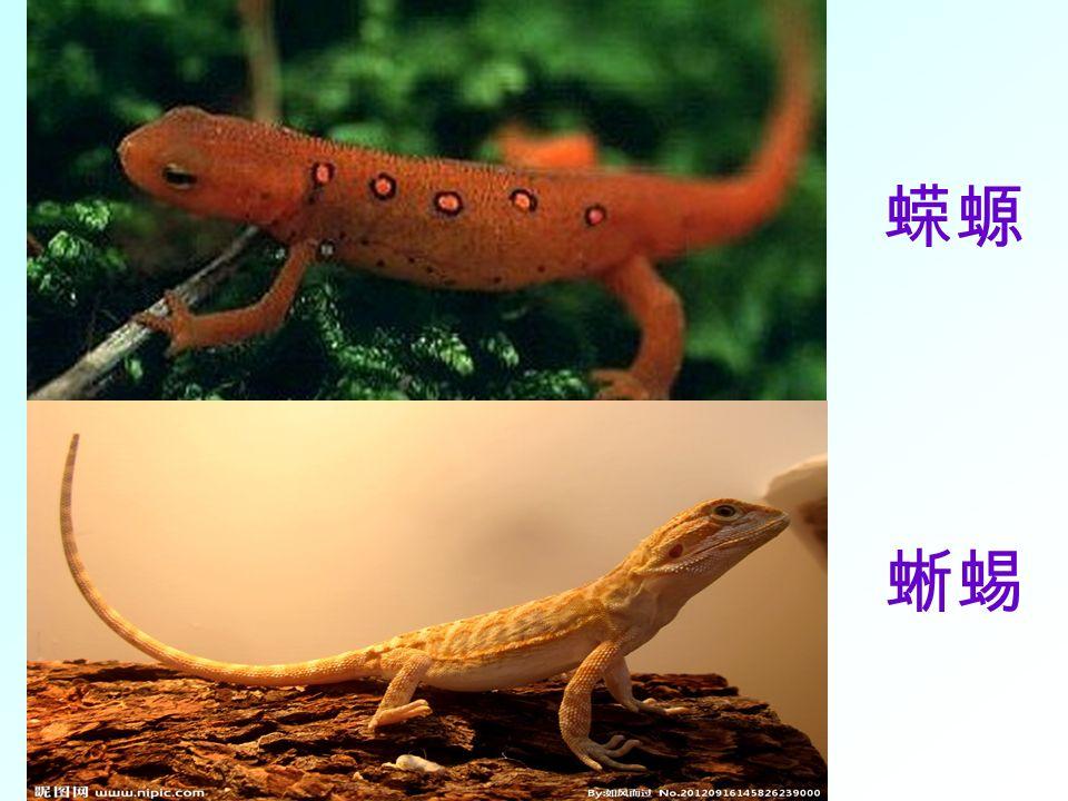 两栖动物 幼体生活在水中,用鳃呼吸;成体大多生活在陆地上,也可在水中游泳, 用肺呼吸,皮肤可辅助呼吸。