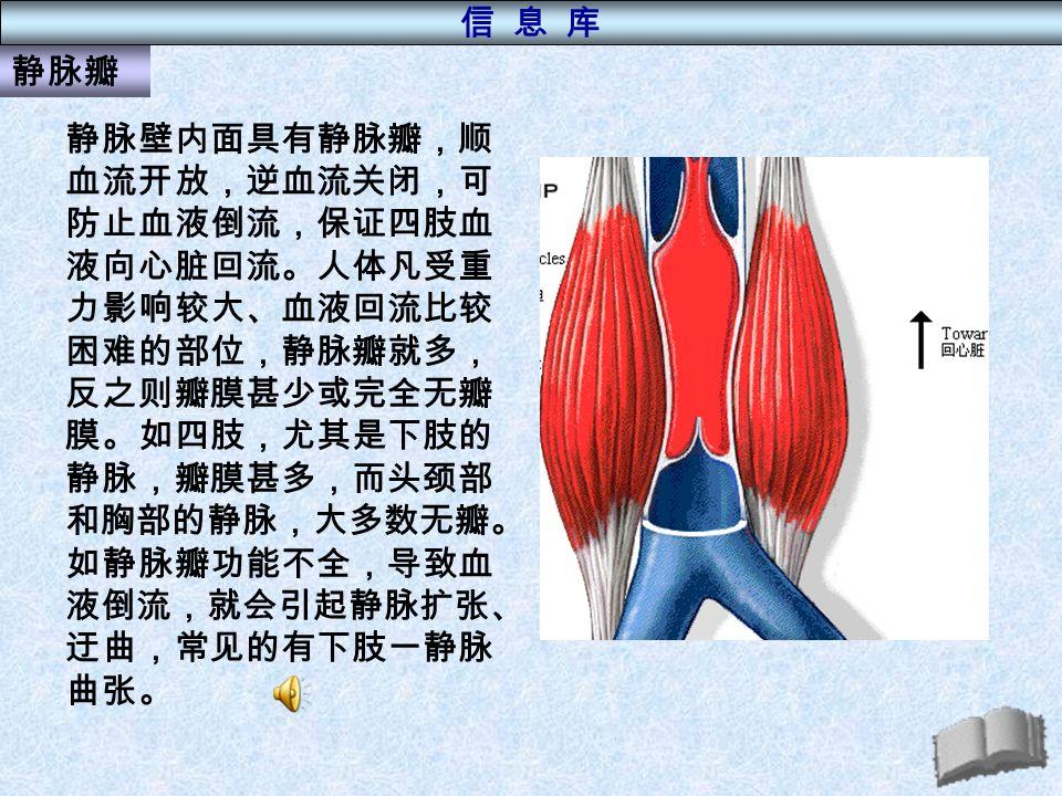 静脉瓣 静脉壁内面具有静脉瓣,顺 血流开放,逆血流关闭,可 防止血液倒流,保证四肢血 液向心脏回流。人体凡受重 力影响较大、血液回流比较 困难的部位,静脉瓣就多, 反之则瓣膜甚少或完全无瓣 膜。如四肢,尤其是下肢的 静脉,瓣膜甚多,而头颈部 和胸部的静脉,大多数无瓣。 如静脉瓣功能不全,导致血 液倒流,就会引起静脉扩张、 迂曲,常见的有下肢一静脉 曲张。 信 息 库