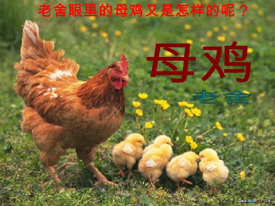 老舍眼里的母鸡又是怎样的呢?