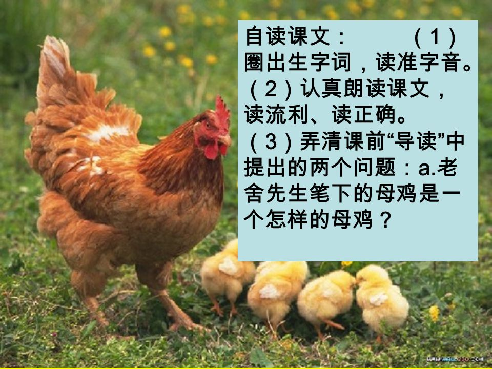 自读课文: ( 1 ) 圈出生字词,读准字音。 ( 2 )认真朗读课文, 读流利、读正确。 ( 3 )弄清课前 导读 中 提出的两个问题: a. 老 舍先生笔下的母鸡是一 个怎样的母鸡?