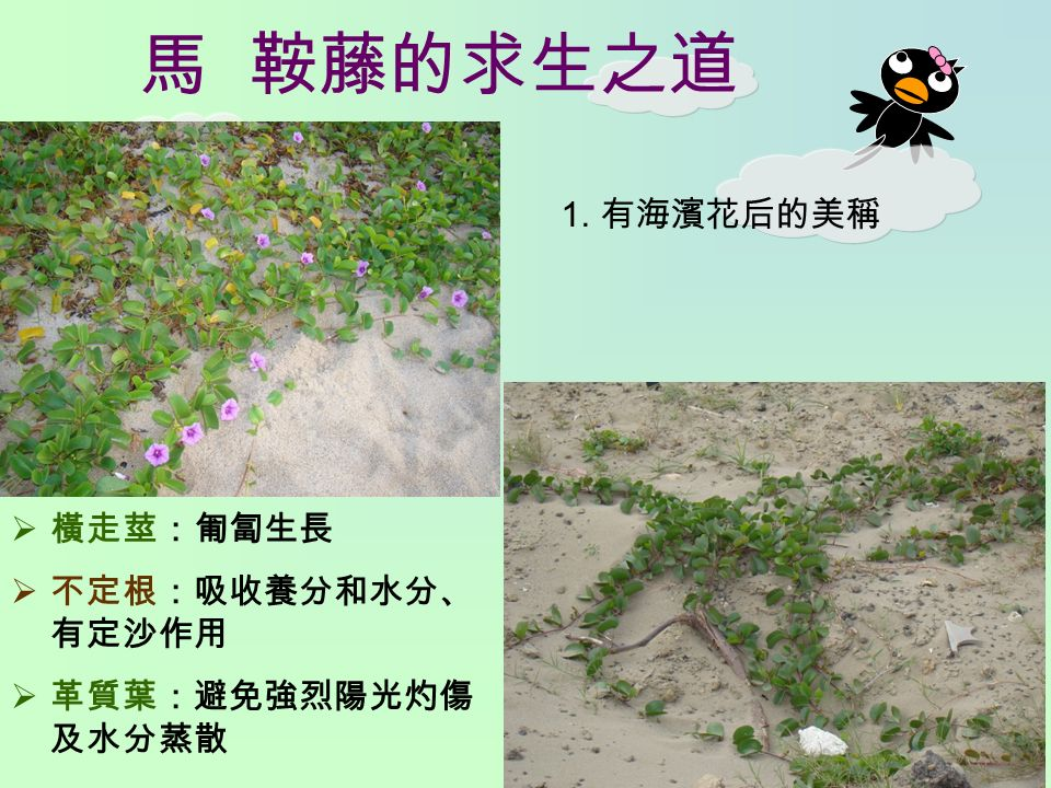馬 鞍藤的求生之道 1. 有海濱花后的美稱  橫走莖:匍匐生長  不定根:吸收養分和水分、 有定沙作用  革質葉:避免強烈陽光灼傷 及水分蒸散