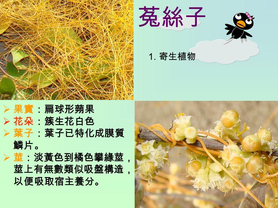 菟絲子 1. 寄生植物  果實:扁球形蒴果  花朵:簇生花白色  葉子:葉子已特化成膜質 鱗片。  莖:淡黃色到橘色攀緣莖, 莖上有無數類似吸盤構造, 以便吸取宿主養分。
