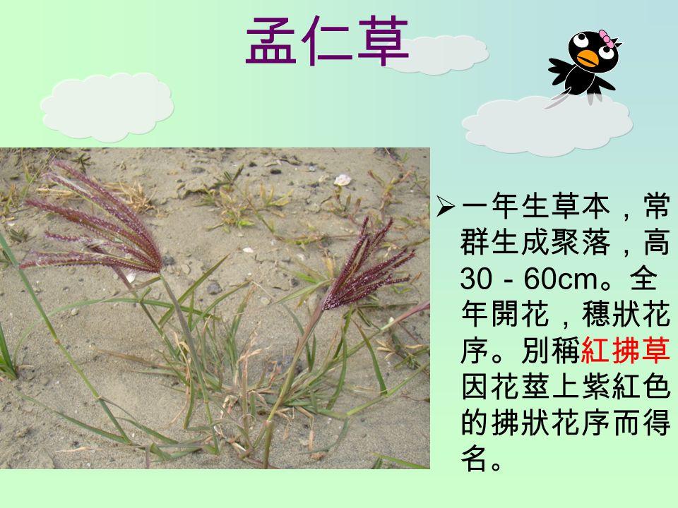 孟仁草  一年生草本,常 群生成聚落,高 30 - 60cm 。全 年開花,穗狀花 序。別稱紅拂草, 因花莖上紫紅色 的拂狀花序而得 名 。