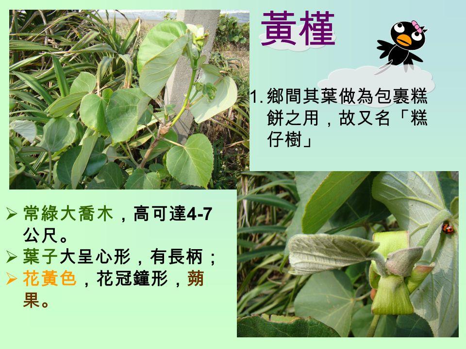 黃槿 1. 鄉間其葉做為包裹糕 餅之用,故又名「糕 仔樹」  常綠大喬木,高可達 4-7 公尺。  葉子大呈心形,有長柄;  花黃色,花冠鐘形,蒴 果。
