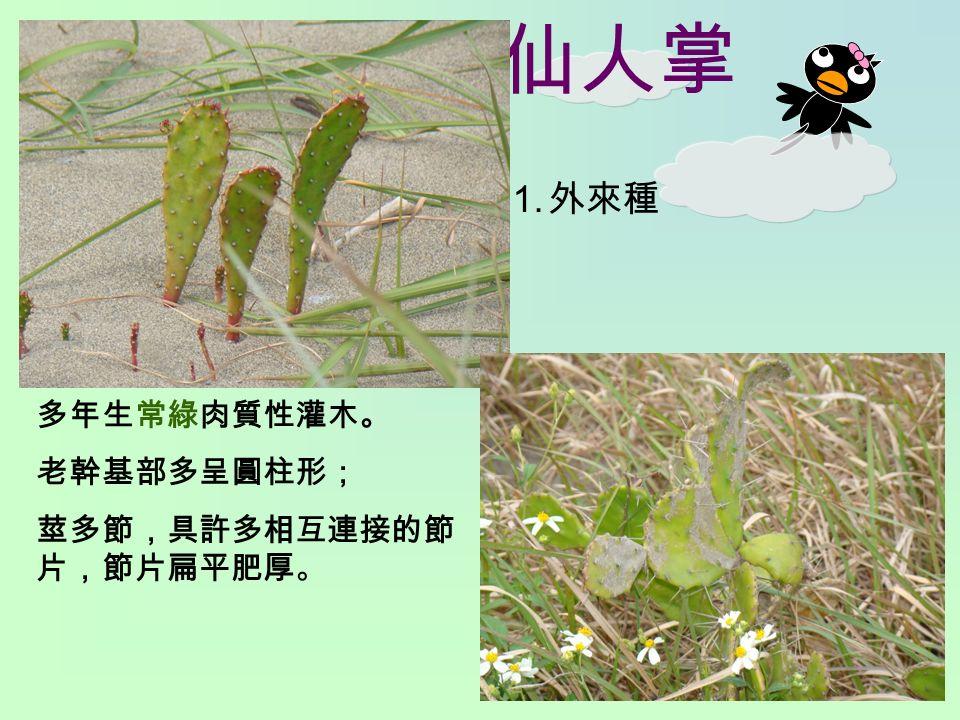 仙人掌 1. 外來種 多年生常綠肉質性灌木。 老幹基部多呈圓柱形; 莖多節,具許多相互連接的節 片,節片扁平肥厚。